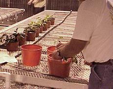 مقاله رایگان کاربرد هورمون اکسین در باغبانی