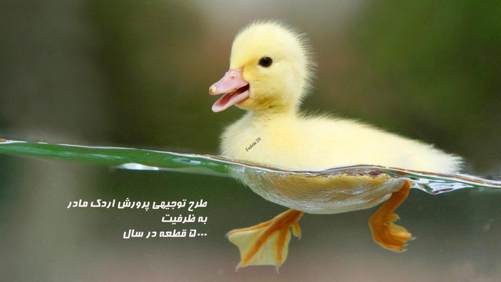 طرح توجيهي پرورش اردك مادر به ظرفيت ۵۰۰۰ قطعه در سال