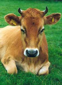 طرح گاو شیری ۵۰ رأسی
