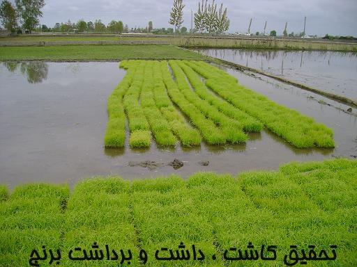 تحقیق کاشت ، داشت و برداشت برنج