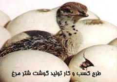 طرح کسب و کار تولید گوشت شتر مرغ
