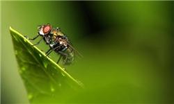 مقاله در مورد مگس ها در کشاورزی