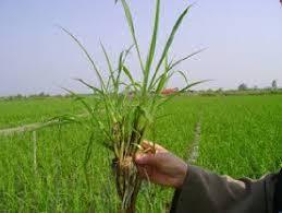 مقاله علفکش های مورد استفاده در مزارع نیشکر