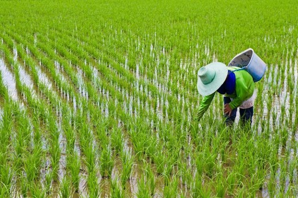 مقاله مصرف بهینه کود گامی در جهت خودکفایی برنج