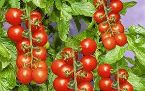 تحقیق کشت گوجه فرنگی در گلخانه