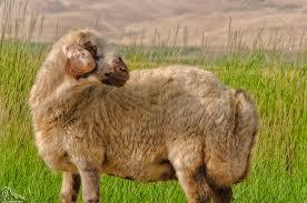 جزوه دامپزشکی رفتارشناسی حیوانات اهلی