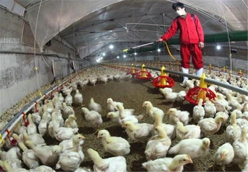 مقاله آنفلوانزای فوق حاد مرغی