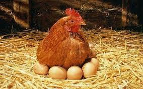 مقاله استفاده از كنجاله كلزا در جيره مرغان تخمگذار