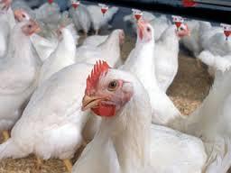 مقاله بازاريابي گوشت طيور
