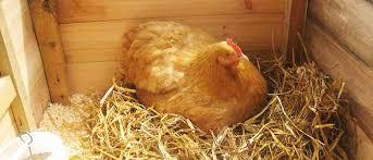مقاله تزريق اسيدهاي آمينه به تخم مرغ مادران گوشتي و اثر آن بر درصد جوجه در آوری