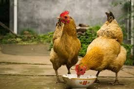 مقاله نقش پرتئينها در طيور