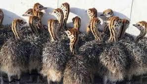مقاله پرورش شتر مرغ