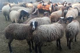 پاورپوینت اقتصاد گوسفند داری