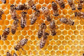 پاورپوینت تولید مثل و تشکلات کندوی زنبور عسل