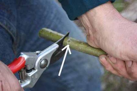 قلمه زدن درخت ها, شیک ترین قلمه های گیاهان