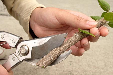 قلمه برگ گیاهان, نحوه قلمه ریشه