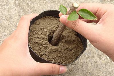 قلمه زدن گل و گیاه, قلمه زدن درخت ها