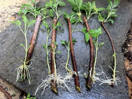 قلمه زدن گیاهان, قلمه زدن گل و گیاه